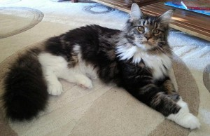 Chatte mainecoon Lot