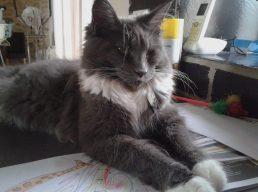 Femelle chat Mainecoon